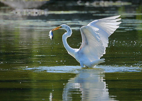 Egret eating shad. by Sarah Rodefeld