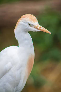 Egret from Madagascar by Dawn Romine