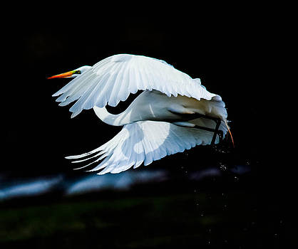 Egret In Flight by Kelly Marquardt
