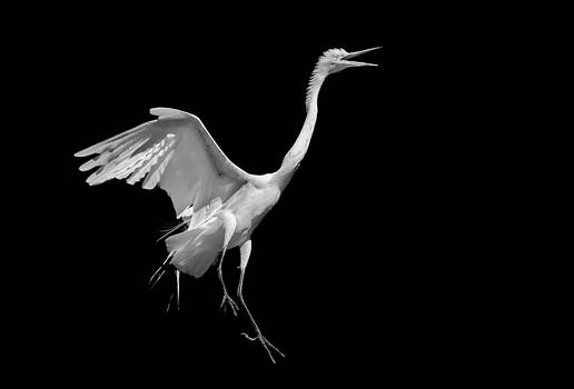 Egret on Black by Andy Smetzer