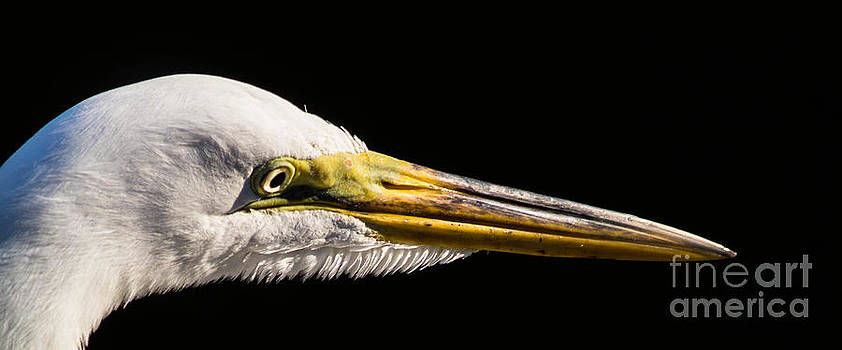 Egret Portrait by Ursula Lawrence