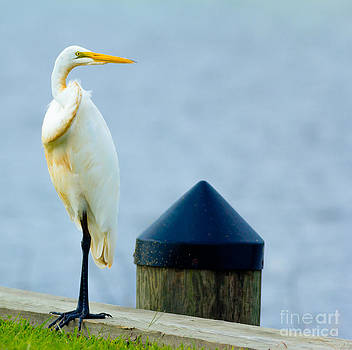Egret Posing by Ursula Lawrence