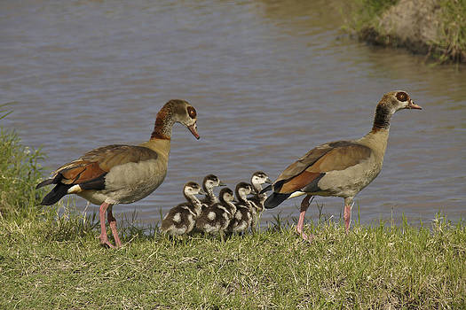 Michele Burgess - Egyptian Geese and Their Fuzzy Dominos