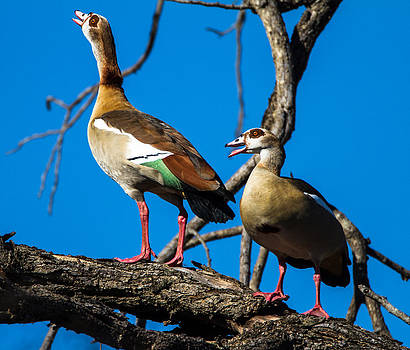 Egyptian Geese by Craig Brown