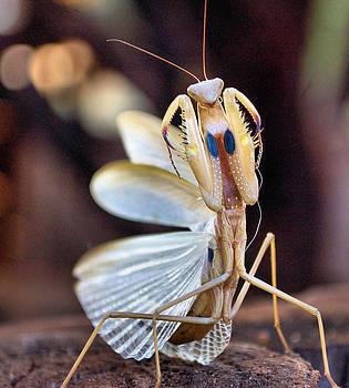 Elegance In Capture - The Praying Mantis by Judith Meintjes
