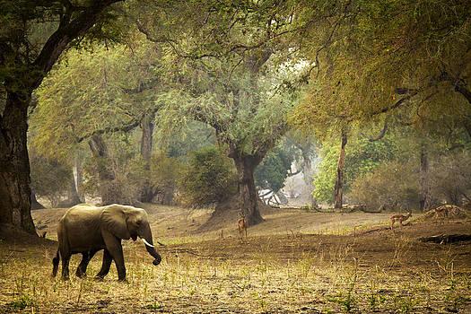Elephant Strolling in Enchanted Forest by Alison Buttigieg