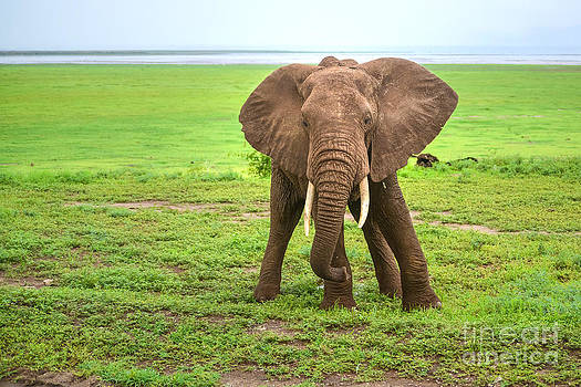 Elephant by Tomaz Kunst
