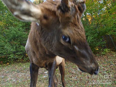 Elk 1 by James York