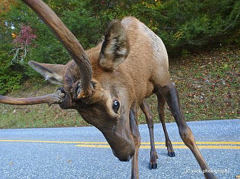 Elk 4 by James York