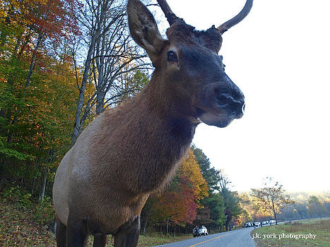 Elk 5 by James York