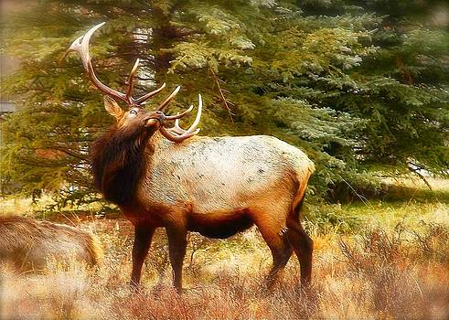Elk Display by Amy G Taylor