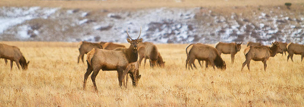 James BO  Insogna - Elk Herd Colorado Foothills Plains Panorama
