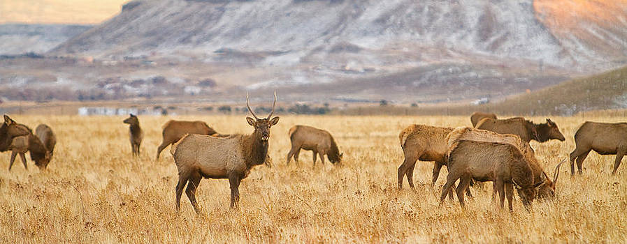 James BO  Insogna - Elk Herd Grazing Rocky Mountain Foothills Panorama