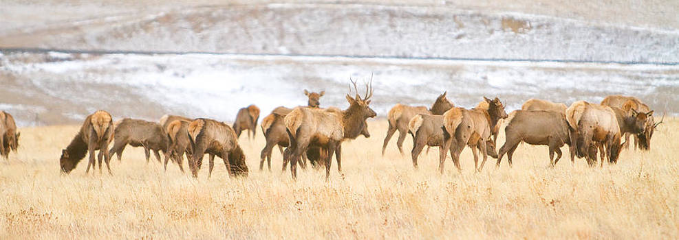 James BO  Insogna - Elk Herd on The Rocky Mountain Foothills Plains 2