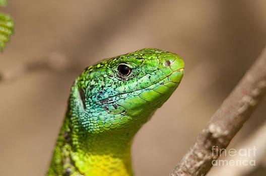 Dr. Thorsten Katz - Emerald Lizard
