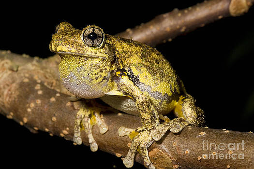 BG Thomson - Emerald-spotted Tree Frog