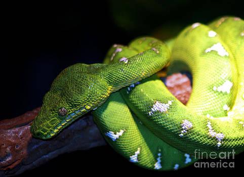 Nick Gustafson - Emerald Tree Snake