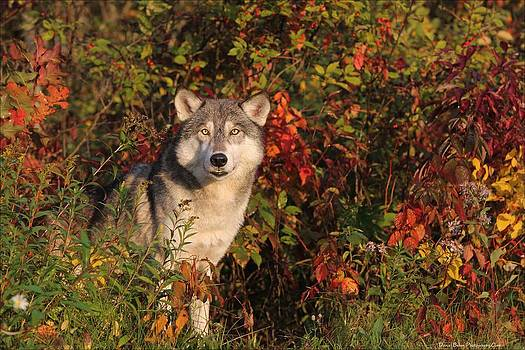 Emerging Wolf by Daniel Behm