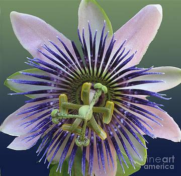 Empassioned Flower by Carol McCutcheon