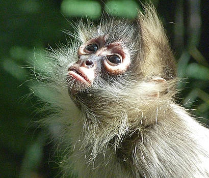 Enchanting Young Spider Monkey by Margaret Saheed