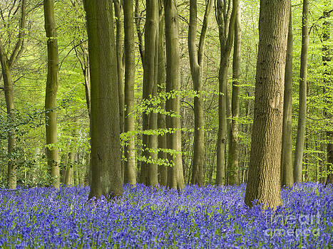 English Bluebells by Elizabeth Debenham