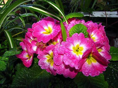 Joyce Dickens - English Primrose Pink After The Rain
