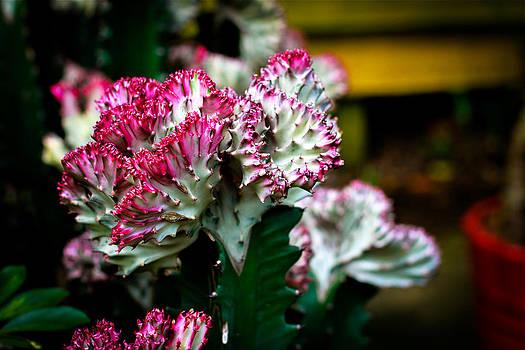 Euphorbia Lactea Singapore Flower by Donald Chen