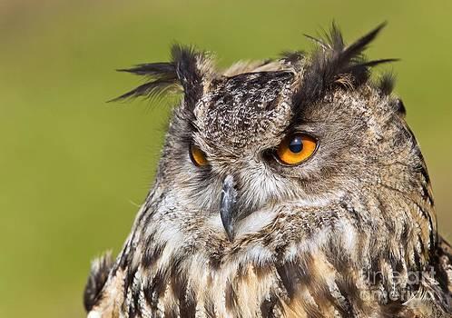 John Devries - Eurasian Eagle-owl