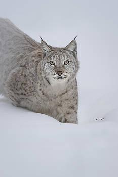 Eurasian Lynx by Andy Astbury