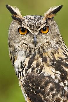 Steve Allen - European Eagle Owl