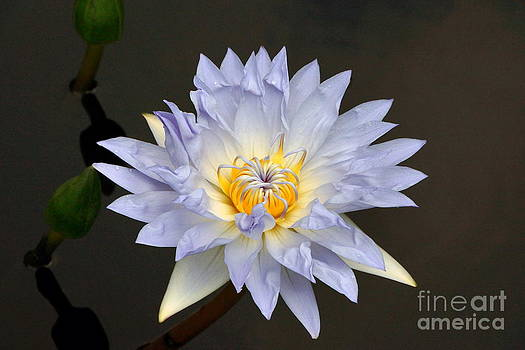 Byron Varvarigos - Exquisite Lavender Waterlily