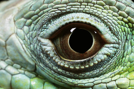 David Davis - Eye Of A Common Iguana Iguana Iguana