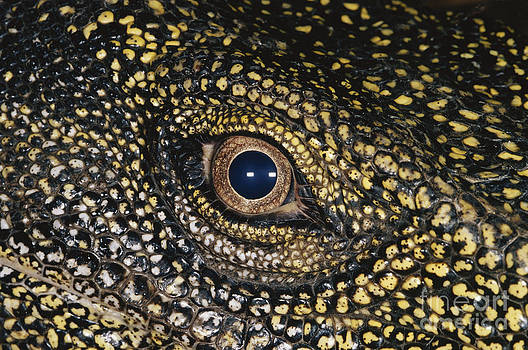 Gregory G Dimijian MD - Eye Of The Crocodile Monitor Lizard