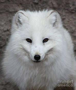 Nick Gustafson - Eyes of the Arctic Fox