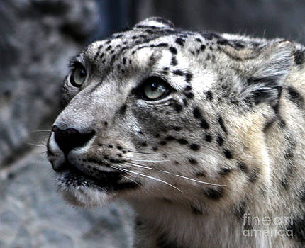 Nick Gustafson - Eyes of the Snow Leopard
