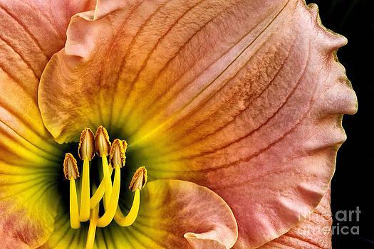Fairy Tale Pink Daylily Closeup by Madonna Martin