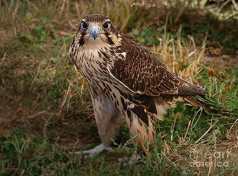 Falcon Gaze by John Perez