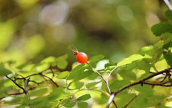 Fall Berries #7 Rose Hip by Gina Gahagan