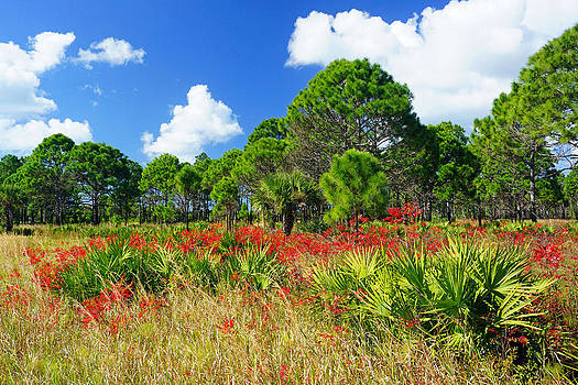 Longleaf Pines Flatwoods Christmas Color by John Myers
