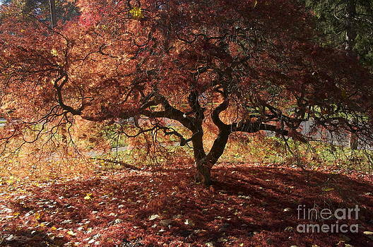 Fall Japanese Maple by Mark Messenger