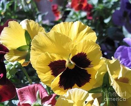 Fall pansies by Donna Cavender