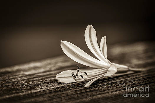 Fallen Beauty- sepia by Marvin Spates