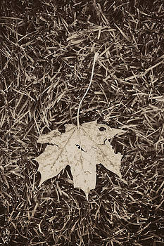 Fallen maple leaf by Lars Hallstrom