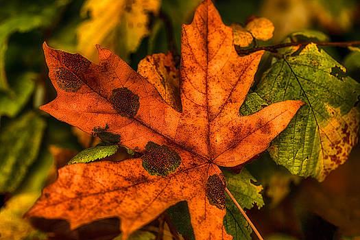 Fallen Maple Leave by Ray Still