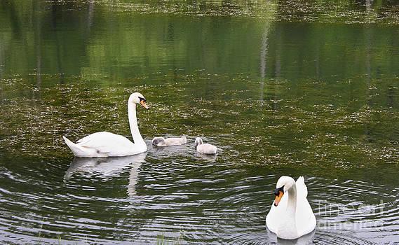 Teresa Mucha - Family of Swans