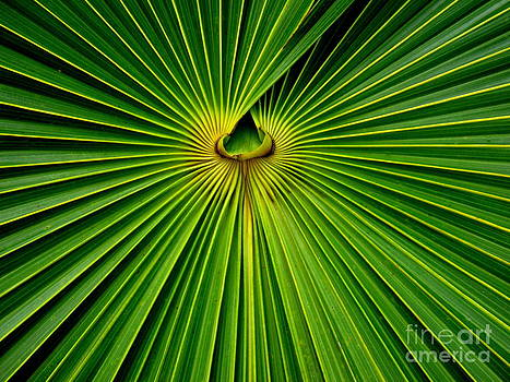 Fan Palm 2 by Ranjini Kandasamy