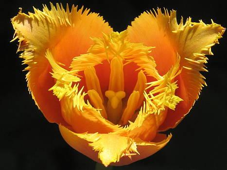 Alfred Ng - Fancy Frills Tulip