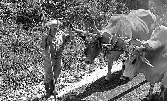 Farmer and his Oxen by Freda Sbordoni