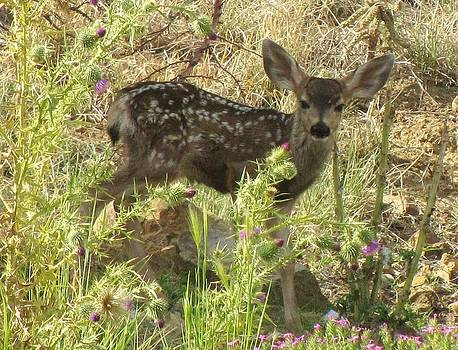 Feva  Fotos - Fawn in Thistles