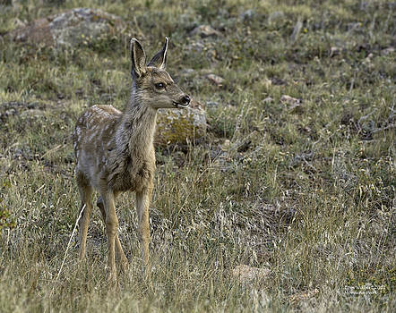 Fawn by Tom Wilbert